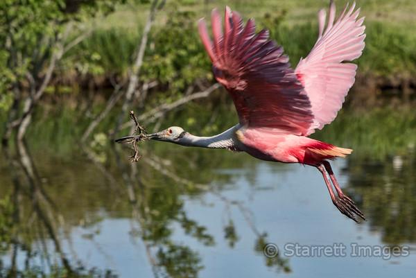 Spoonbill bring back nesting material.