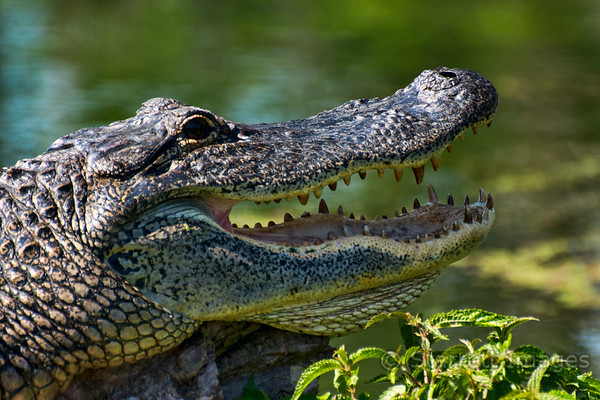 Alligator cooling off
