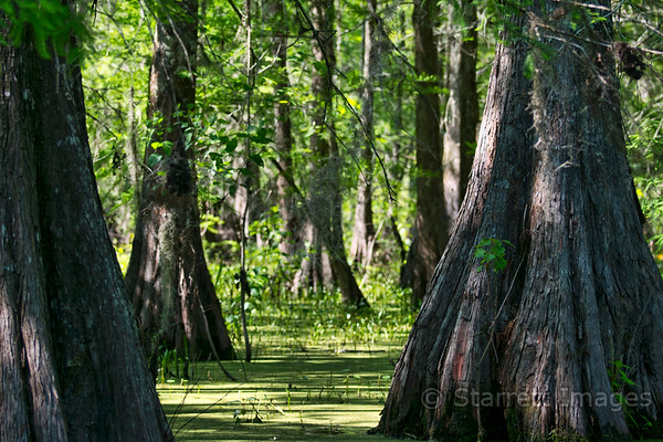 Cypress growing in  a typical bayou scene