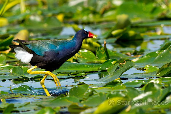 Purple Gallinule