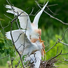 Cattle Egrets, a Menage a Trois
