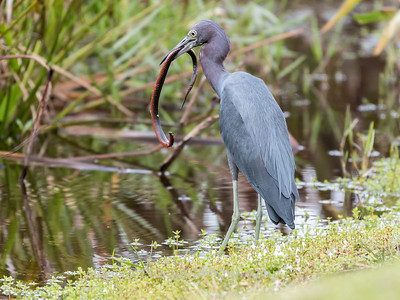 Little Blue Heron Jan 2018-8416
