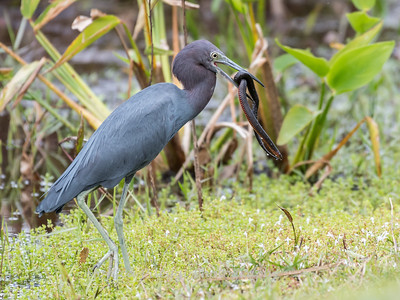 Little Blue Heron Jan 2018-8435