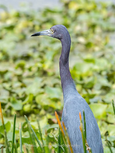 Little Blue Heron Jan 2018-7906