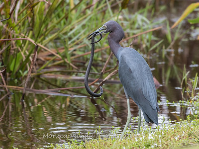 Little Blue Heron Jan 2018-8414