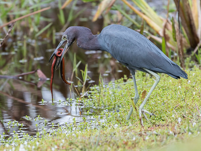 Little Blue Heron Jan 2018-8433