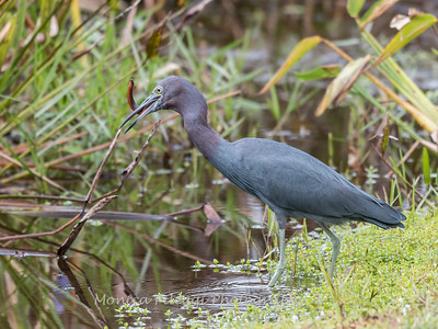 Little Blue Heron Jan 2018-8466