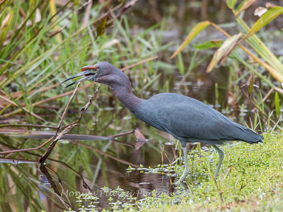 Little Blue Heron Jan 2018-8469