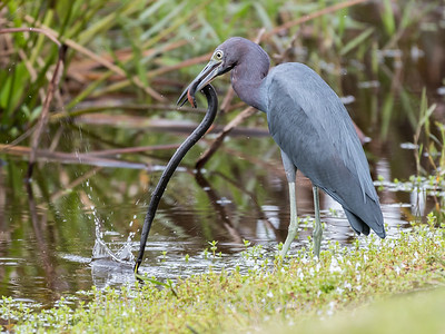 Little Blue Heron Jan 2018-8422
