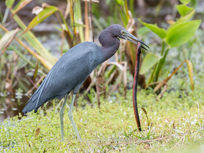 Little Blue Heron Jan 2018-8436