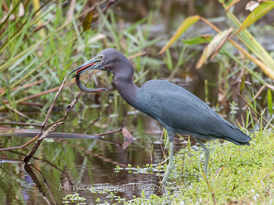 Little Blue Heron Jan 2018-8465
