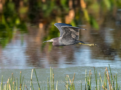 Little Blue Heron Jan 2018-9367