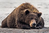 Tired mother coastal brown bear