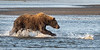 Mother Coastal Brown Bear Goes After the Silver Salmon in the Tidal Pool