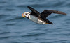 Horned puffin successfully launched