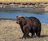 Coastal Brown Bear with Fisherman in Background