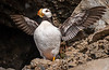 Horned Puffin on Duck Island