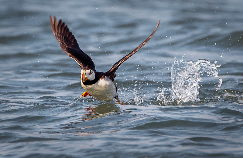 Horned puffin preparing for takeoff!