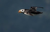 Horned puffin successfully launched!