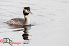 Great Crested Grebe at RSPB Leighton Moss
