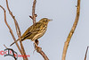Meadow Pipit on Walney Island, Barrow-in-Furness