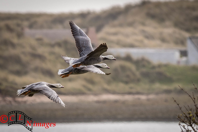 Emperor Geese on Walney Island, Barrow-in-Furness