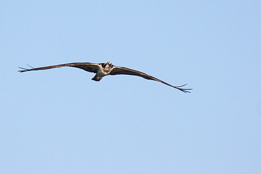 8130 Aha! Here comes a kite now. Oops. Nope. It's an osprey instead.