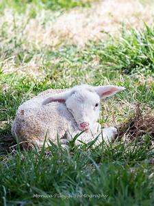 Lambs 13 April 2018-6956