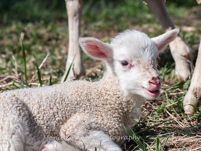 Lambs 13 April 2018-6917