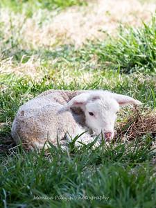 Lambs 13 April 2018-6950