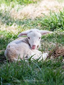 Lambs 13 April 2018-6955