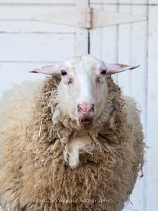 Lambs 13 April 2018-7031