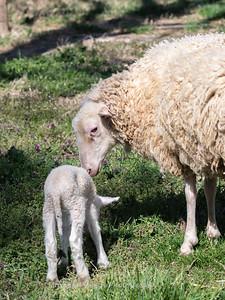 Lambs 13 April 2018-6896