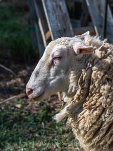 Lambs 13 April 2018-6920