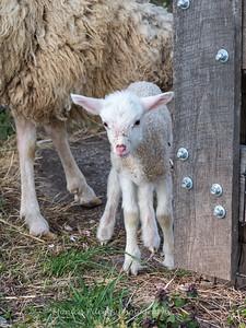 Lambs 13 April 2018-7007