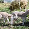 Lambs 13 April 2018-6907