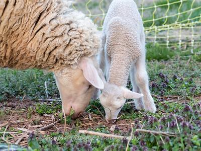 Lambs 13 April 2018-6941