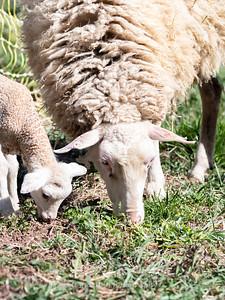 Lambs 13 April 2018-6914