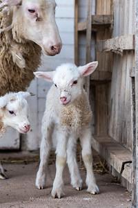 Lambs 13 April 2018-7040