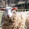 Lambs 13 April 2018-6905