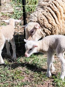 Lambs 13 April 2018-6912