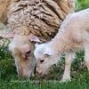 Lambs 13 April 2018-6947