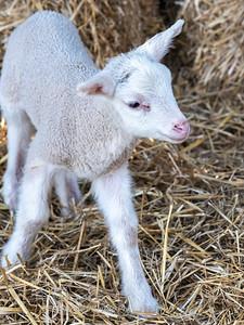 Lambs 13 April 2018-7018
