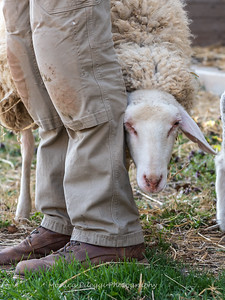 Lambs 13 April 2018-7041