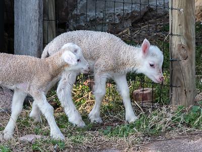 Lambs 13 April 2018-7012