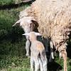 Lambs 13 April 2018-6899