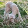 Lambs 13 April 2018-6945