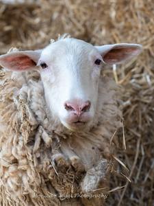 Lambs 13 April 2018-7058