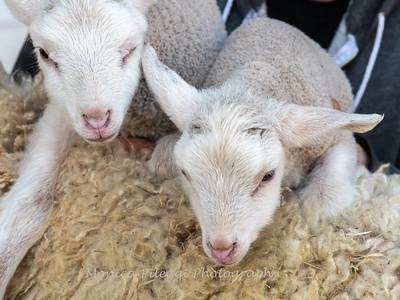 Lambs 13 April 2018-7054