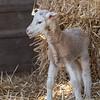 Lambs 13 April 2018-6885